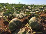 Cultura de abóbora cabotiá começa a ganhar espaço em Canarana