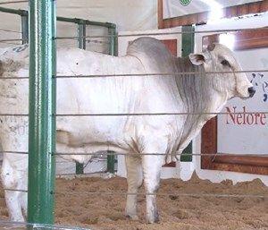 Nelore Jem ingressa no mercado de touros    Agua Boa News 756f2216a7b