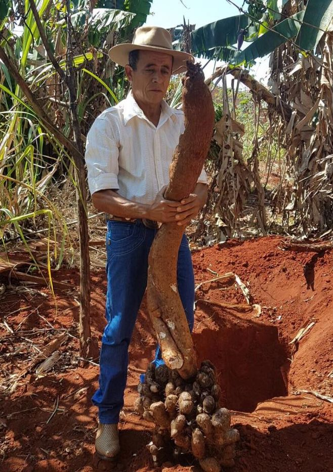 Tangará da Serra - Produtor colhe cará gigante de quase 2 metros e 27 kg