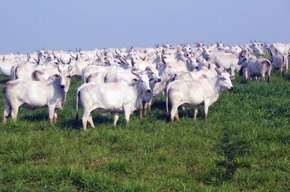 Recontagem do rebanho bovino de MT está previsto em lei